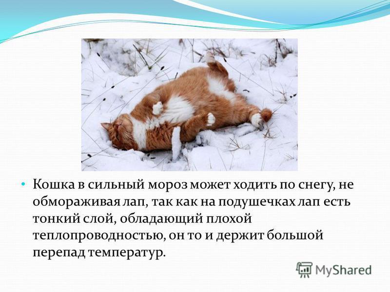 Кошка в сильный мороз может ходить по снегу, не обмораживая лап, так как на подушечках лап есть тонкий слой, обладающий плохой теплопроводностью, он то и держит большой перепад температур.