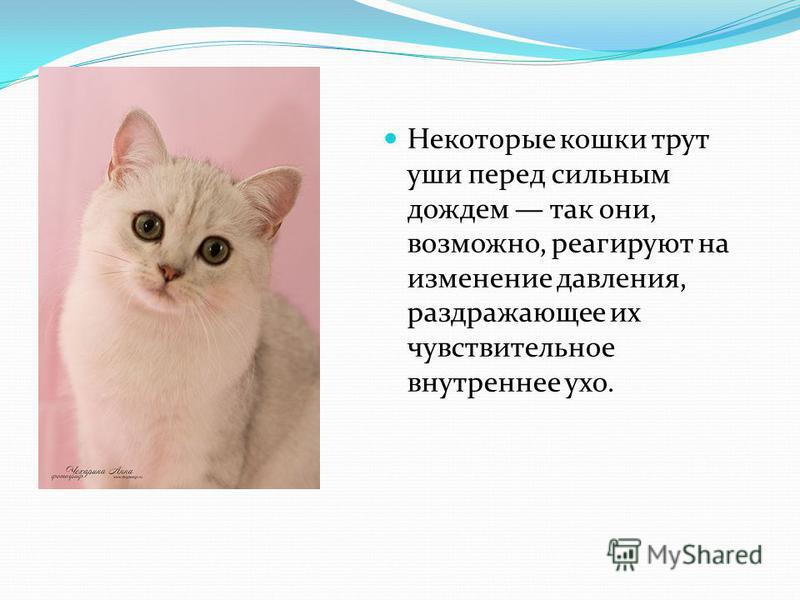 Некоторые кошки трут уши перед сильным дождем так они, возможно, реагируют на изменение давления, раздражающее их чувствительное внутреннее ухо.