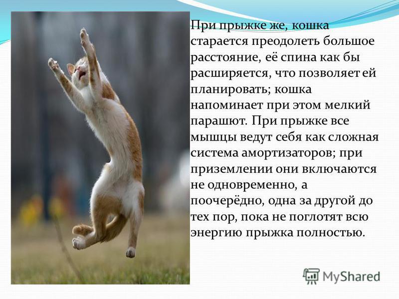 При прыжке же, кошка старается преодолеть большое расстояние, её спина как бы расширяется, что позволяет ей планировать; кошка напоминает при этом мелкий парашют. При прыжке все мышцы ведут себя как сложная система амортизаторов; при приземлении они