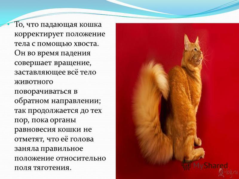 То, что падающая кошка корректирует положение тела с помощью хвоста. Он во время падения совершает вращение, заставляющее всё тело животного поворачиваться в обратном направлении; так продолжается до тех пор, пока органы равновесия кошки не отметят,