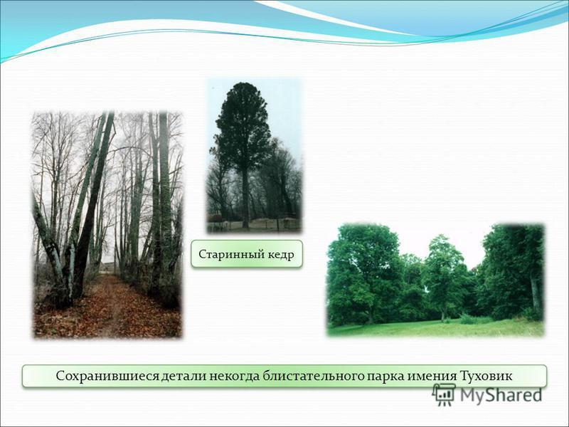 Старинный кедр Сохранившиеся детали некогда блистательного парка имения Туховик