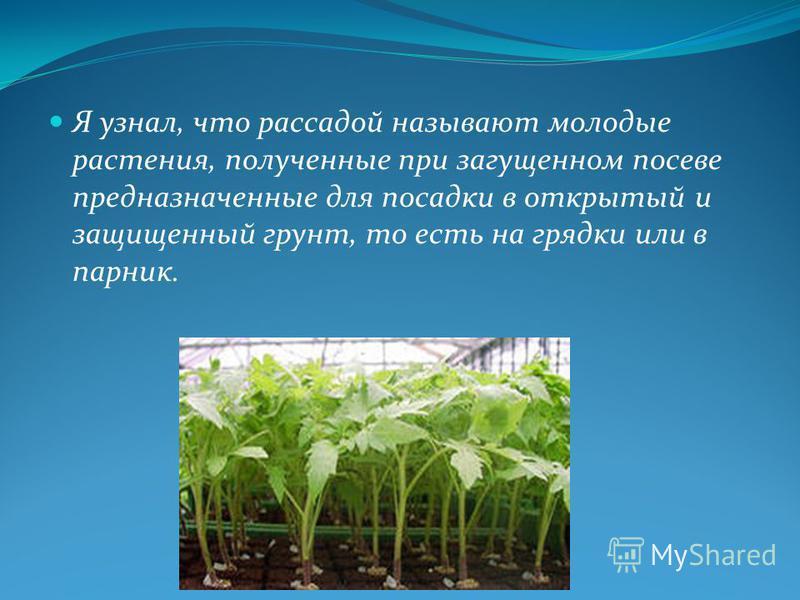 Я узнал, что рассадой называют молодые растения, полученные при загущенном посеве предназначенные для посадки в открытый и защищенный грунт, то есть на грядки или в парник.
