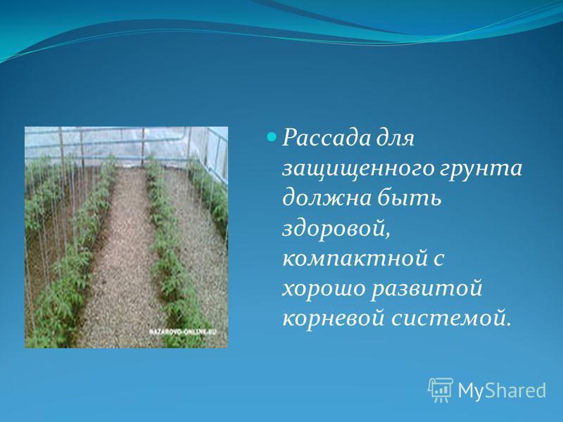 Рассада для защищенного грунта должна быть здоровой, компактной с хорошо развитой корневой системой.