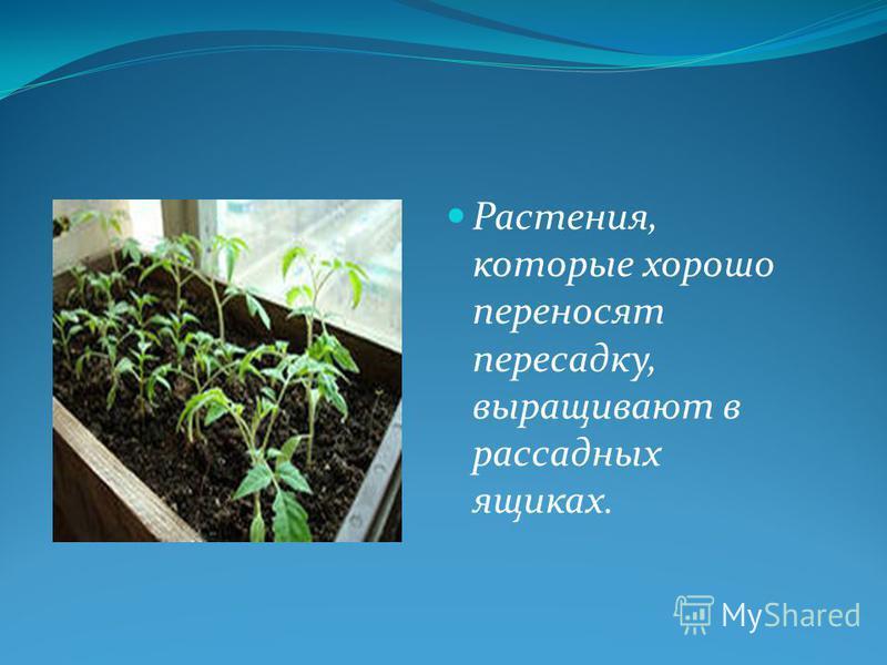 Растения, которые хорошо переносят пересадку, выращивают в рассадных ящиках.