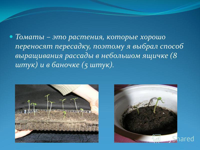 Томаты – это растения, которые хорошо переносят пересадку, поэтому я выбрал способ выращивания рассады в небольшом ящичке (8 штук) и в баночке (5 штук).