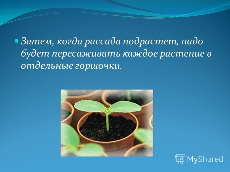 Затем, когда рассада подрастет, надо будет пересаживать каждое растение в отдельные горшочки.