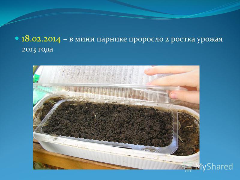 18.02.2014 – в мини парнике проросло 2 ростка урожая 2013 года