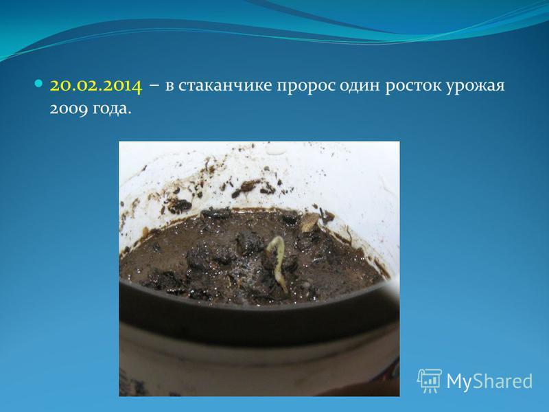 20.02.2014 – в стаканчике пророс один росток урожая 2009 года.