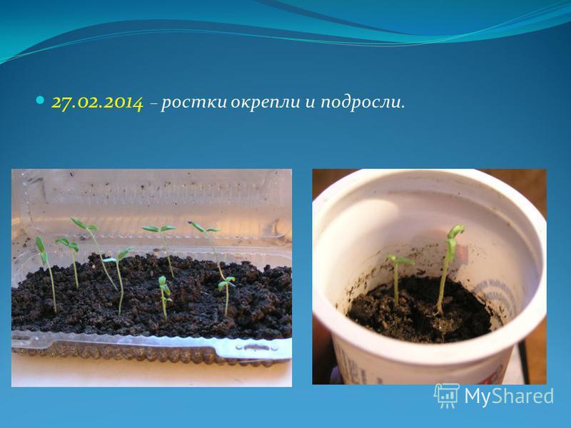 27.02.2014 – ростки окрепли и подросли.