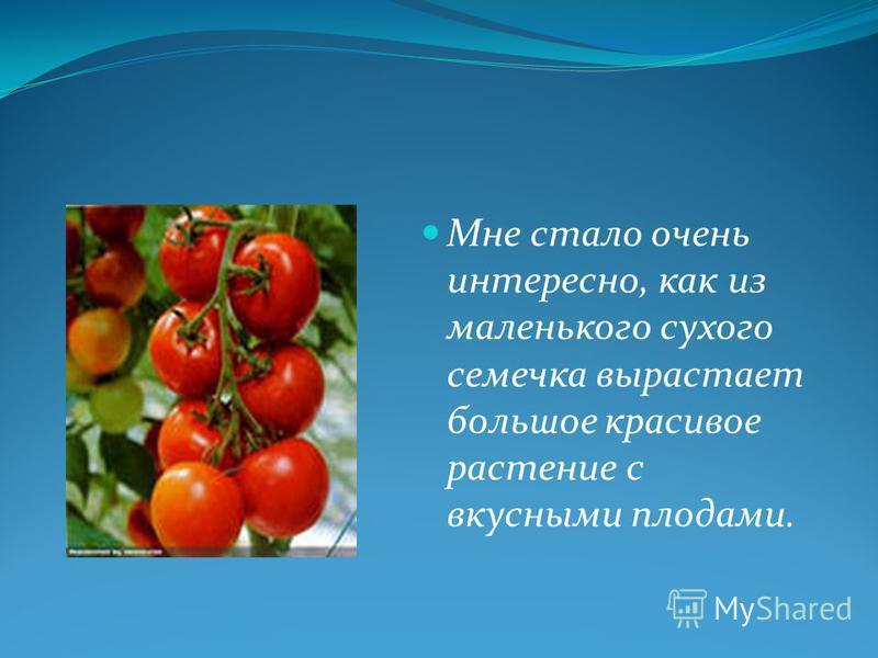 Мне стало очень интересно, как из маленького сухого семечка вырастает большое красивое растение с вкусными плодами.