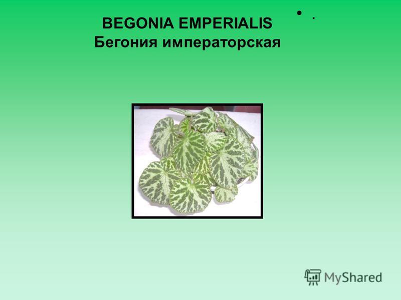 . BEGONIA EMPERIALIS Бегония императорская