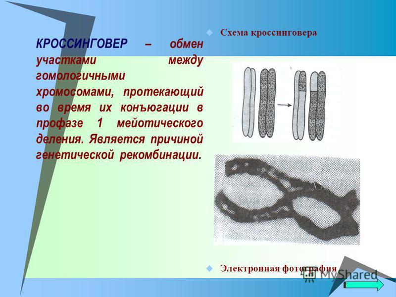 КРОССИНГОВЕР – обмен участками между гомологичными хромосомами, протекающий во время их конъюгации в профазе 1 мейотического деления. Является причиной генетической рекомбинации. Схема кроссинговера Электронная фотография