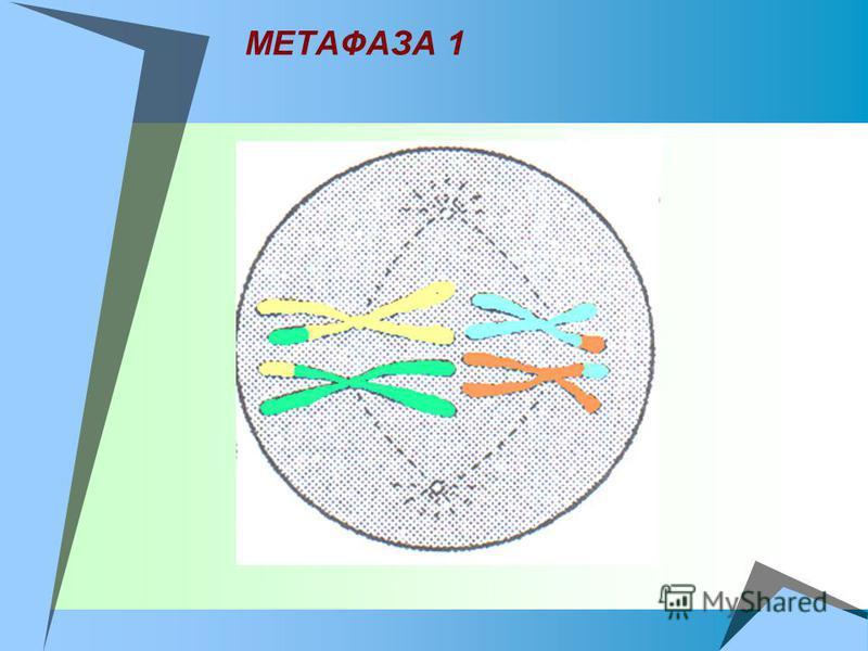 МЕТАФАЗА 1
