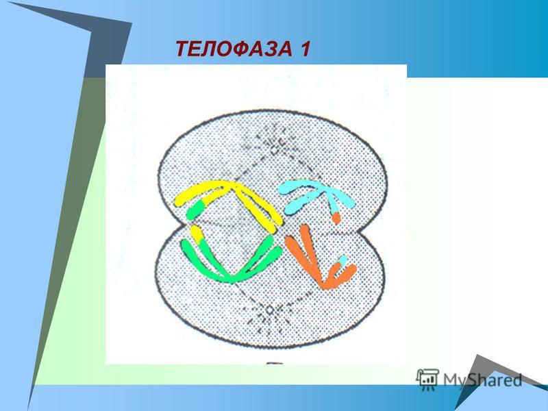 ТЕЛОФАЗА 1