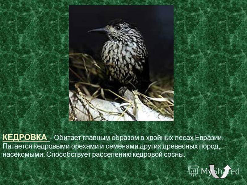 КЕДРОВКА - Обитает главным образом в хвойных лесах Евразии. Питается кедровыми орехами и семенами других древесных пород, насекомыми. Способствует расселению кедровой сосны.