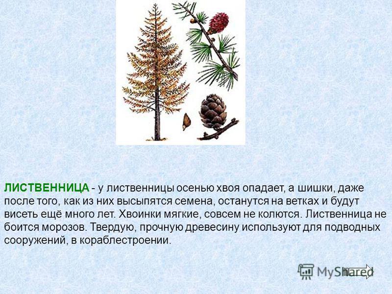 ЛИСТВЕННИЦА - у лиственницы осенью хвоя опадает, а шишки, даже после того, как из них высыпаться семена, останутся на ветках и будут висеть ещё много лет. Хвоинки мягкие, совсем не колются. Лиственница не боится морозов. Твердую, прочную древесину ис