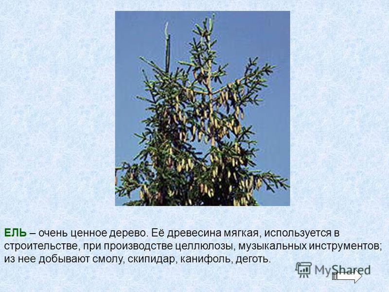 ЕЛЬ – очень ценное дерево. Её древесина мягкая, используется в строительстве, при производстве целлюлозы, музыкальных инструментов; из нее добывают смолу, скипидар, канифоль, деготь.