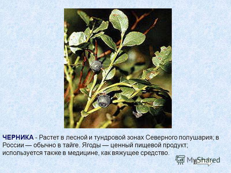 ЧЕРНИКА - Растет в лесной и тундровой зонах Северного полушария; в России обычно в тайге. Ягоды ценный пищевой продукт; используется также в медицине, как вяжущее средство.