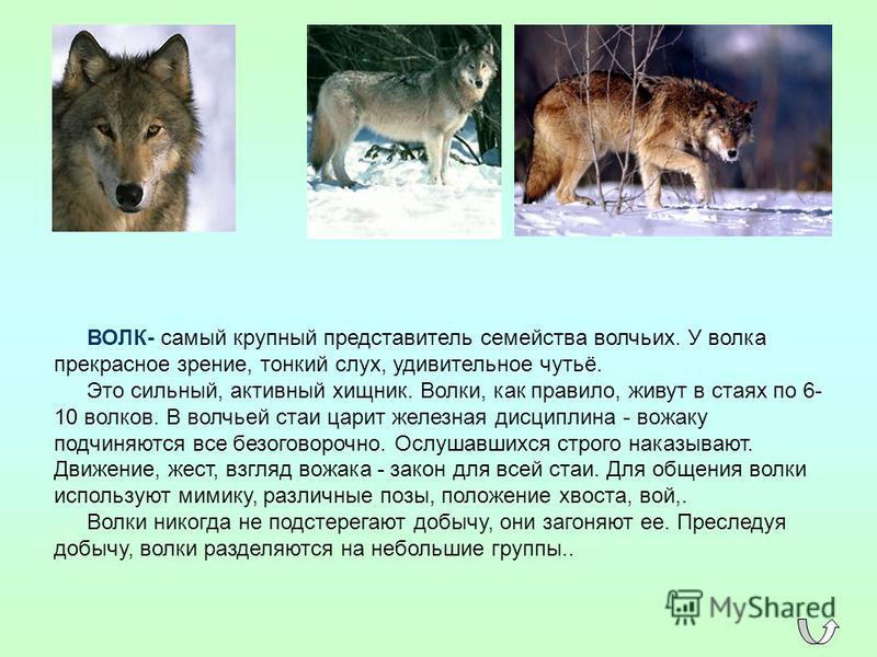 ВОЛК- самый крупный представитель семейства волчьих. У волка прекрасное зрение, тонкий слух, удивительное чутьё. Это сильный, активный хищник. Волки, как правило, живут в стаях по 6- 10 волков. В волчьей стаи царит железная дисциплина - вожаку подчин