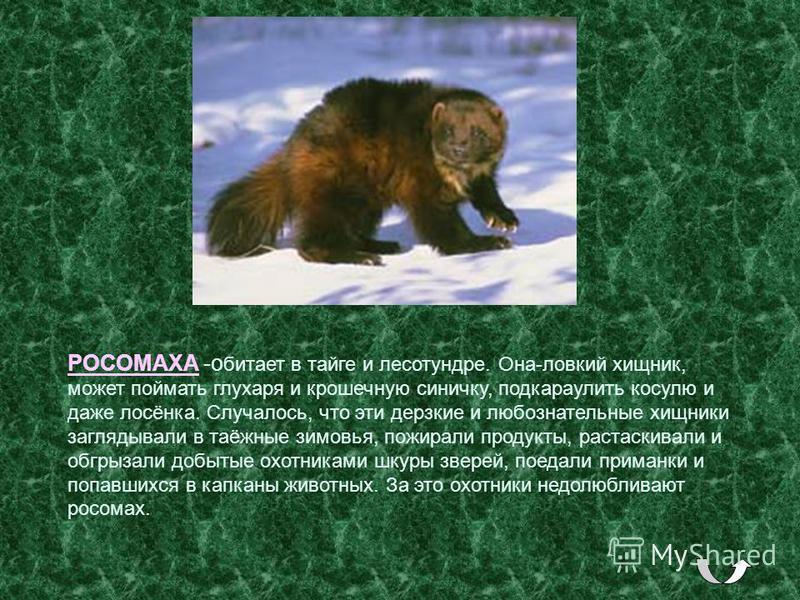 РОСОМАХА -обитает в тайге и лесотундре. Она-ловкий хищник, может поймать глухаря и крошечную синичку, подкараулить косулю и даже лосёнка. Случалось, что эти дерзкие и любознательные хищники заглядывали в таёжные зимовья, пожирали продукты, растаскива