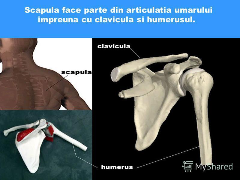 Scapula face parte din articulatia umarului impreuna cu clavicula si humerusul.