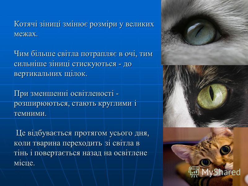 Котячі зіниці змінює розміри у великих межах. Чим більше світла потрапляє в очі, тим сильніше зіниці стискуються - до вертикальних щілок. При зменшенні освітленості - розширюються, стають круглими і темними. Це відбувається протягом усього дня, коли