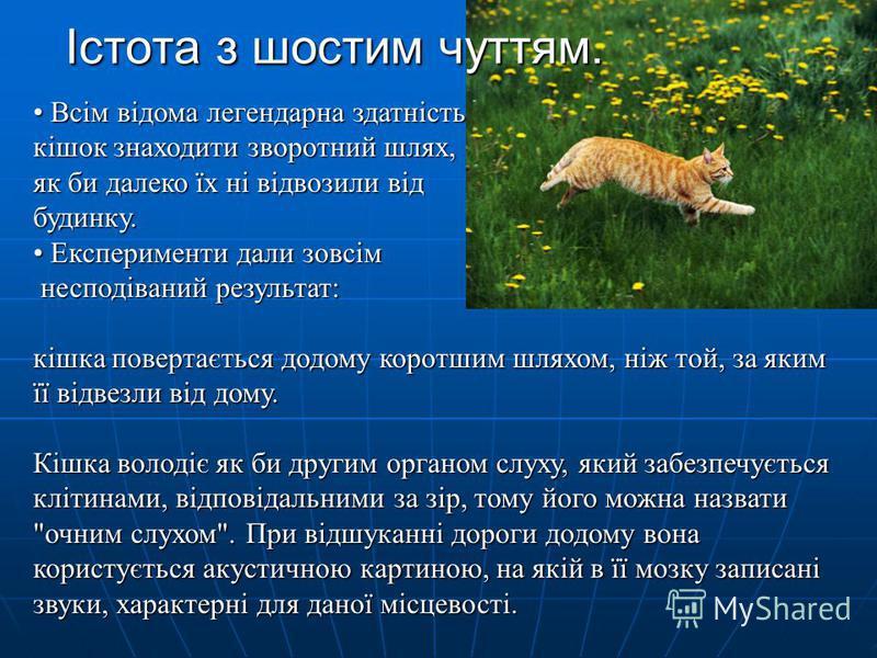 Істота з шостим чуттям. Всім відома легендарна здатність Всім відома легендарна здатність кішок знаходити зворотний шлях, як би далеко їх ні відвозили від будинку. Експерименти дали зовсім Експерименти дали зовсім несподіваний результат: кішка поверт