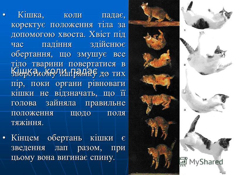 Кішка, коли падає, коректує положення тіла за допомогою хвоста. Хвіст під час падіння здійснює обертання, що змушує все тіло тварини повертатися в зворотному напрямку до тих пір, поки органи рівноваги кішки не відзначать, що її голова зайняла правиль