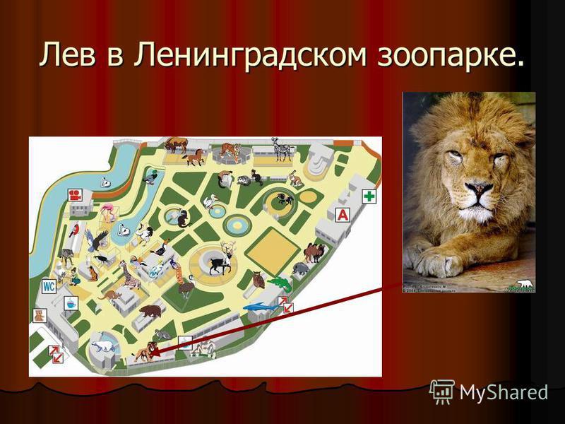 Лев в Ленинградском зоопарке.