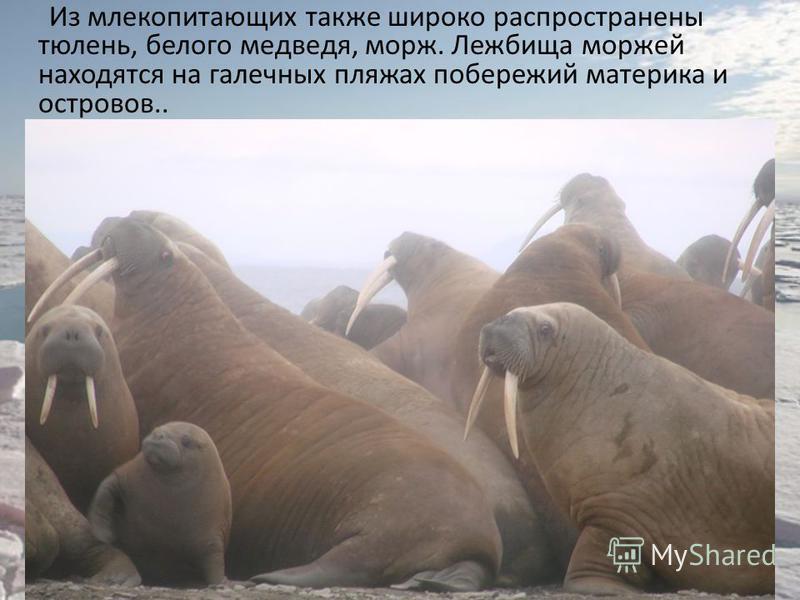 Из млекопитающих также широко распространены тюлень, белого медведя, морж. Лежбища моржей находятся на галечных пляжах побережий материка и островов..