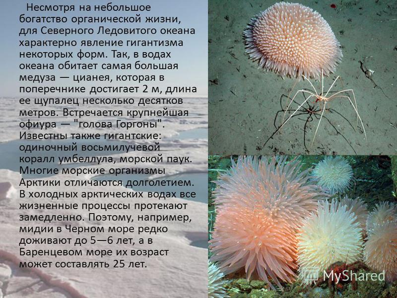 Несмотря на небольшое богатство органической жизни, для Северного Ледовитого океана характерно явление гигантизма некоторых форм. Так, в водах океана обитает самая большая медуза цианея, которая в поперечнике достигает 2 м, длина ее щупалец несколько