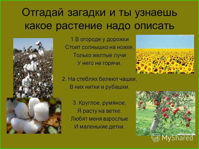 Отгадай загадки и ты узнаешь какое растение надо описать 1. В огороде у дорожки Стоит солнышко на ножке, Только желтые лучи У него не горячи. 2. На стеблях белеют чашки, В них нитки и рубашки. 3. Круглое, румяное, Я расту на ветке. Любят меня взрослы