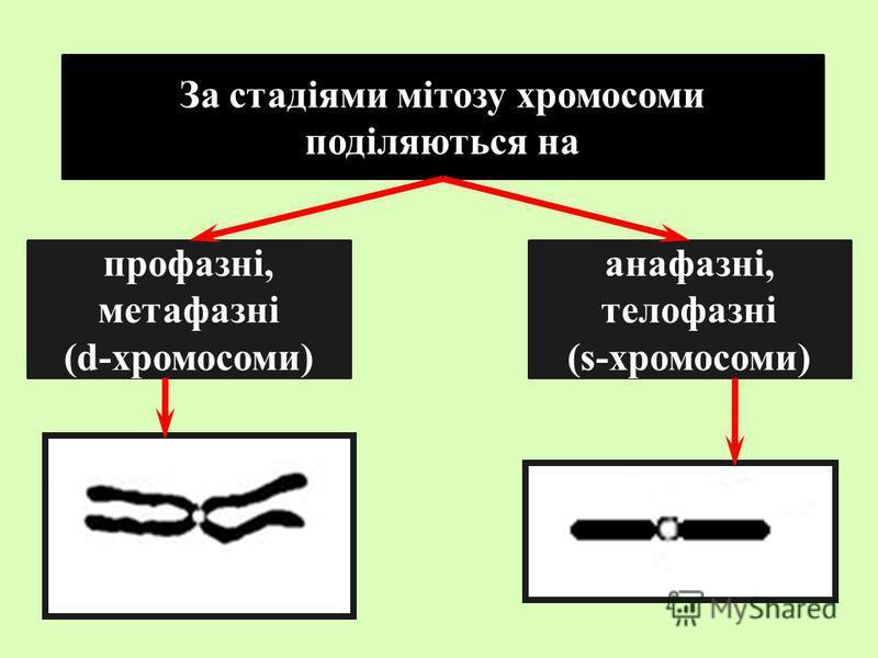 За стадіями мітозу хромосоми поділяються на профазні, метафазні (d-хромосоми) анафазні, телофазні (s-хромосоми)