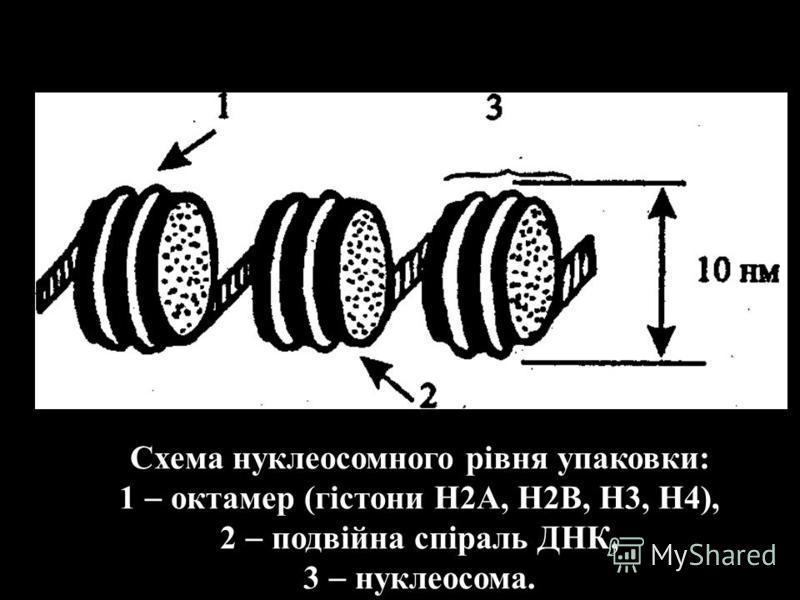 Схема нуклеосомного рівня упаковки: 1 октамер (гістони Н2A, Н2B, Н3, Н4), 2 подвійна спіраль ДНК, 3 нуклеосома.