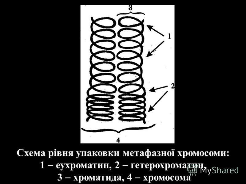 Схема рівня упаковки метафазної хромосоми: 1 еухроматин, 2 гетерохроматин, 3 хроматида, 4 хромосома