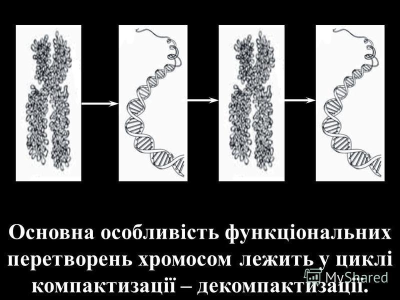 Основна особливість функціональних перетворень хромосом лежить у циклі компактизації – декомпактизації.