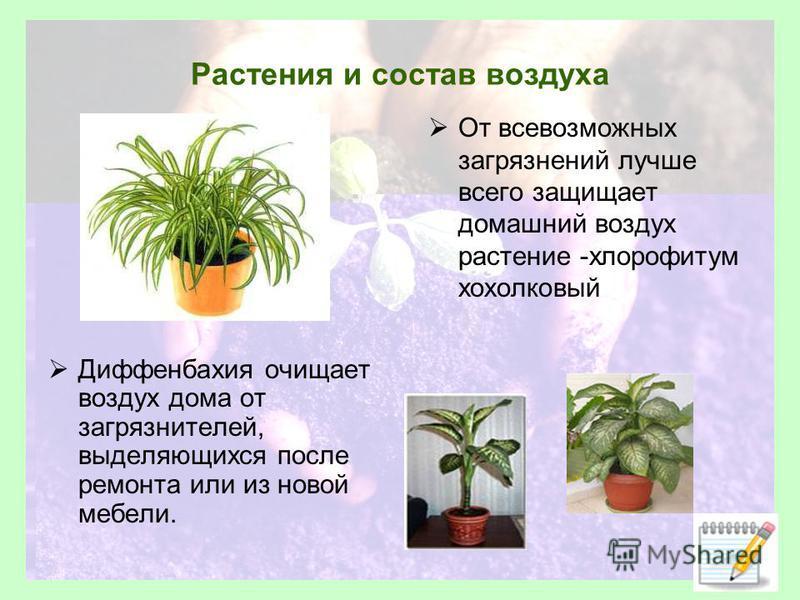 Растения и состав воздуха Диффенбахия очищает воздух дома от загрязнителей, выделяющихся после ремонта или из новой мебели. От всевозможных загрязнений лучше всего защищает домашний воздух растение -хлорофитум хохолковый
