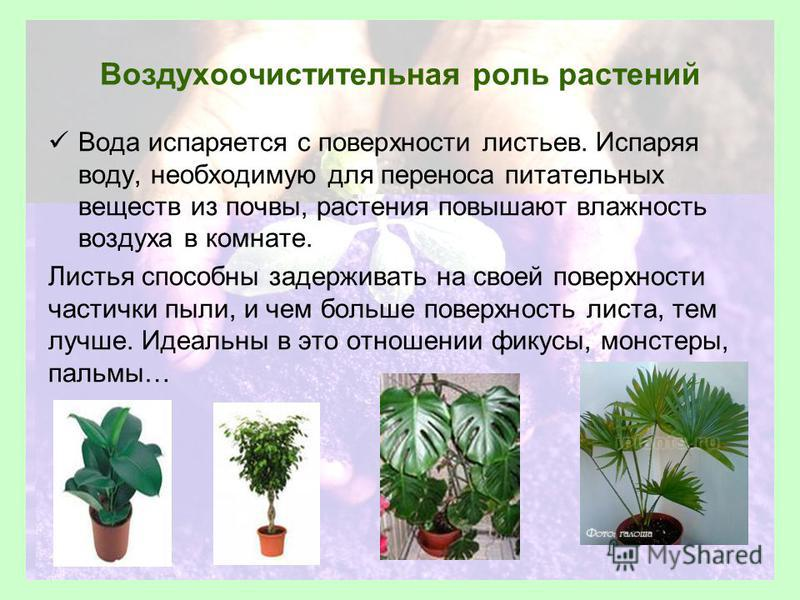Воздухоочистительная роль растений Вода испаряется с поверхности листьев. Испаряя воду, необходимую для переноса питательных веществ из почвы, растения повышают влажность воздуха в комнате. Листья способны задерживать на своей поверхности частички пы