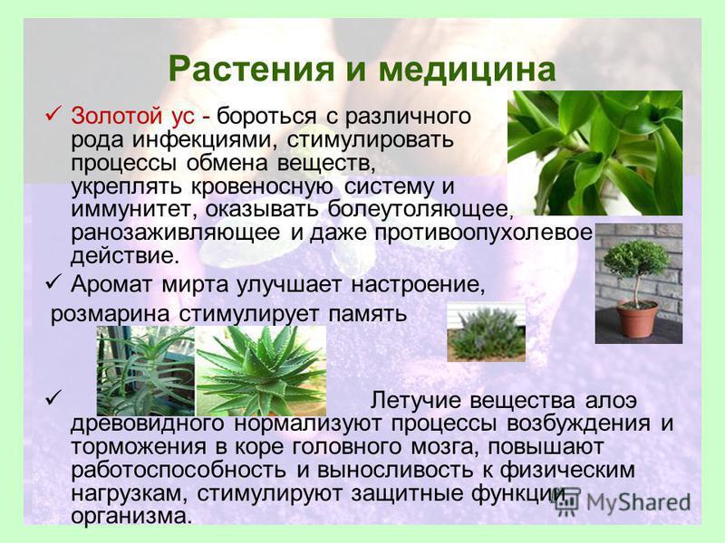 Растения и медицина Золотой ус - бороться с различного рода инфекциями, стимулировать процессы обмена веществ, укреплять кровеносную систему и иммунитет, оказывать болеутоляющее, ранозаживляющее и даже противоопухолевое действие. Аромат мирта улучшае