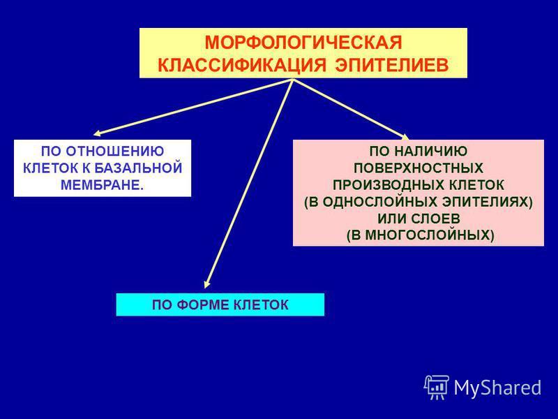 МОРФОЛОГИЧЕСКАЯ КЛАССИФИКАЦИЯ ЭПИТЕЛИЕВ ПО ОТНОШЕНИЮ КЛЕТОК К БАЗАЛЬНОЙ МЕМБРАНЕ. ПО ФОРМЕ КЛЕТОК ПО НАЛИЧИЮ ПОВЕРХНОСТНЫХ ПРОИЗВОДНЫХ КЛЕТОК (В ОДНОСЛОЙНЫХ ЭПИТЕЛИЯХ) ИЛИ СЛОЕВ (В МНОГОСЛОЙНЫХ)