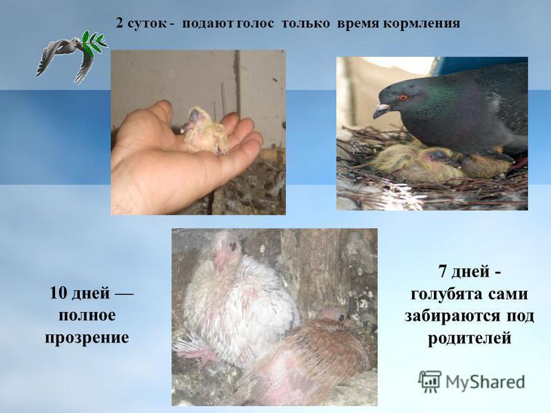 2 суток - подают голос только время кормления 7 дней - голубята сами забираются под родителей 10 дней полное прозрение