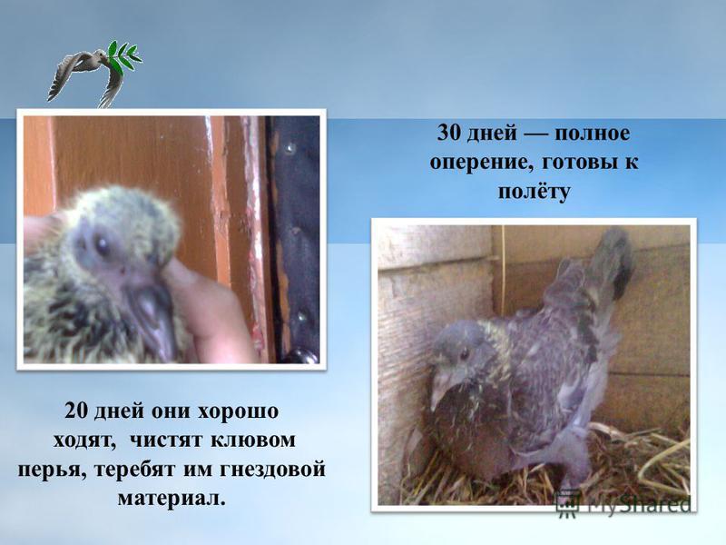 30 дней полное оперение, готовы к полёту 20 дней они хорошо ходят, чистят клювом перья, теребят им гнездовой материал.