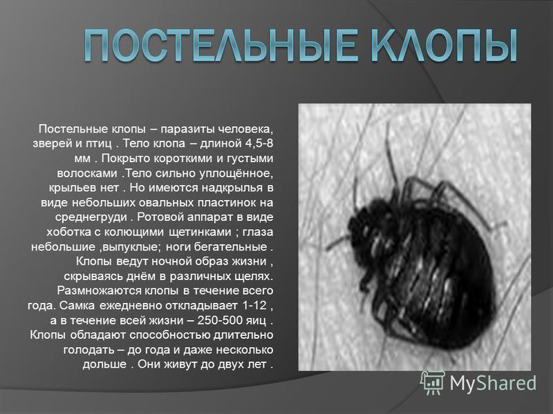 Постельные клопы – паразиты человека, зверей и птиц. Тело клопа – длиной 4,5-8 мм. Покрыто короткими и густыми волосками.Тело сильно уплощённое, крыльев нет. Но имеются надкрылья в виде небольших овальных пластинок на среднегруди. Ротовой аппарат в в