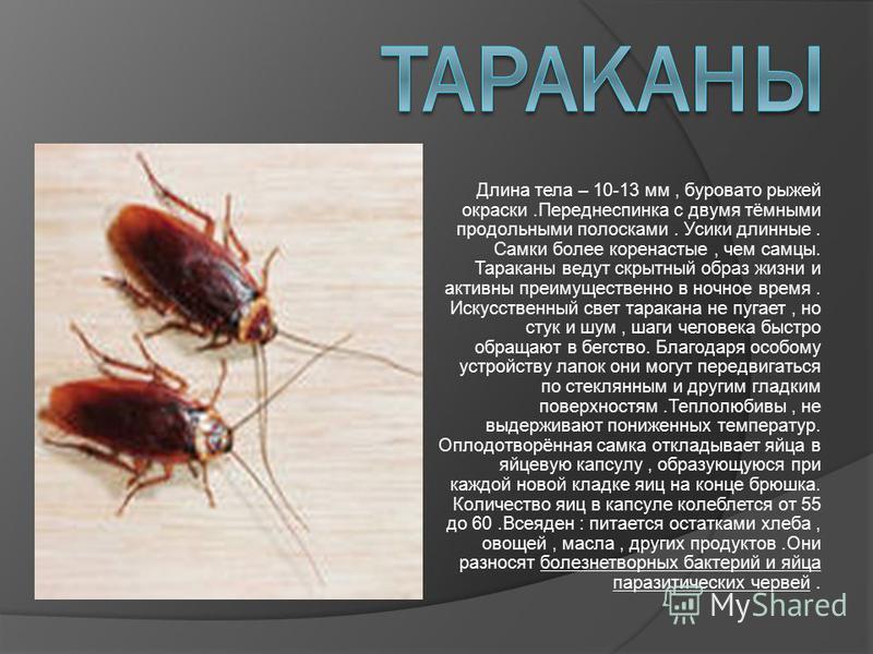 Длина тела – 10-13 мм, буровато рыжей окраски.Переднеспинка с двумя тёмными продольными полосками. Усики длинные. Самки более коренастые, чем самцы. Тараканы ведут скрытный образ жизни и активны преимущественно в ночное время. Искусственный свет тара