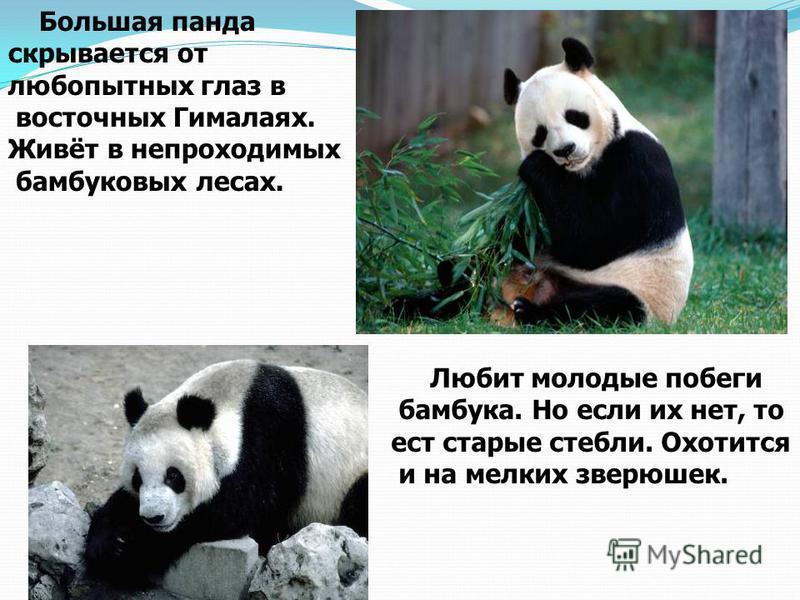 Большая панда скрывается от любопытных глаз в восточных Гималаях. Живёт в непроходимых бамбуковых лесах. Любит молодые побеги бамбука. Но если их нет, то ест старые стебли. Охотится и на мелких зверюшек.