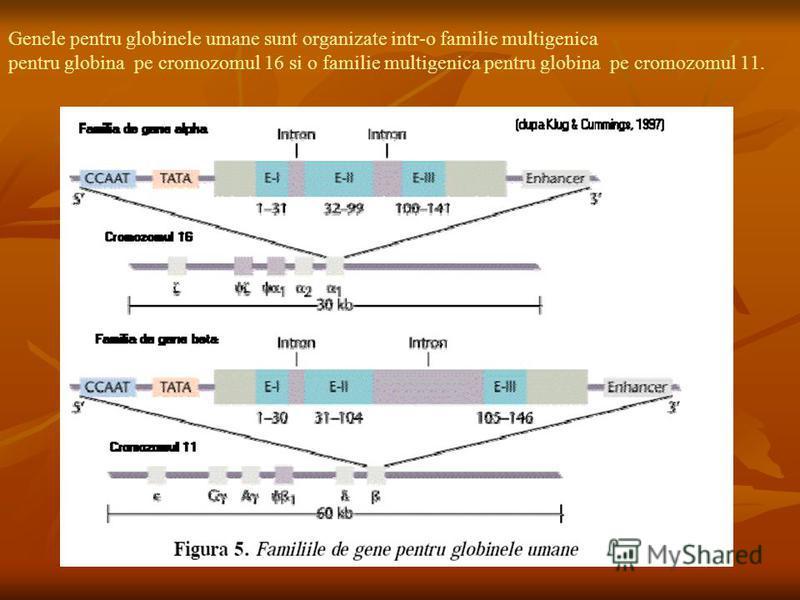 Genele pentru globinele umane sunt organizate intr-o familie multigenica pentru globina pe cromozomul 16 si o familie multigenica pentru globina pe cromozomul 11.