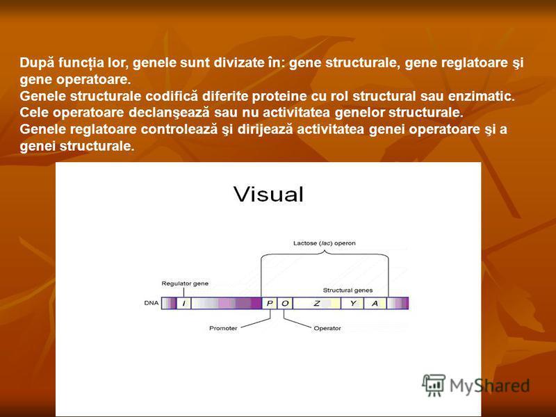 După funcţia lor, genele sunt divizate în: gene structurale, gene reglatoare şi gene operatoare. Genele structurale codifică diferite proteine cu rol structural sau enzimatic. Cele operatoare declanşează sau nu activitatea genelor structurale. Genele
