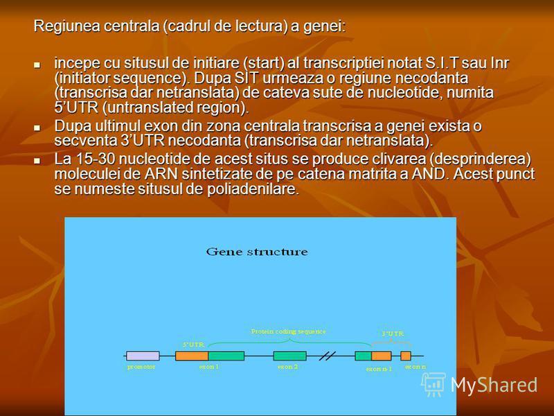 Regiunea centrala (cadrul de lectura) a genei: incepe cu situsul de initiare (start) al transcriptiei notat S.I.T sau Inr (initiator sequence). Dupa SIT urmeaza o regiune necodanta (transcrisa dar netranslata) de cateva sute de nucleotide, numita 5UT