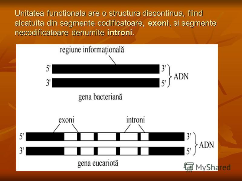 Unitatea functionala are o structura discontinua, fiind alcatuita din segmente codificatoare, exoni, si segmente necodificatoare denumite introni.