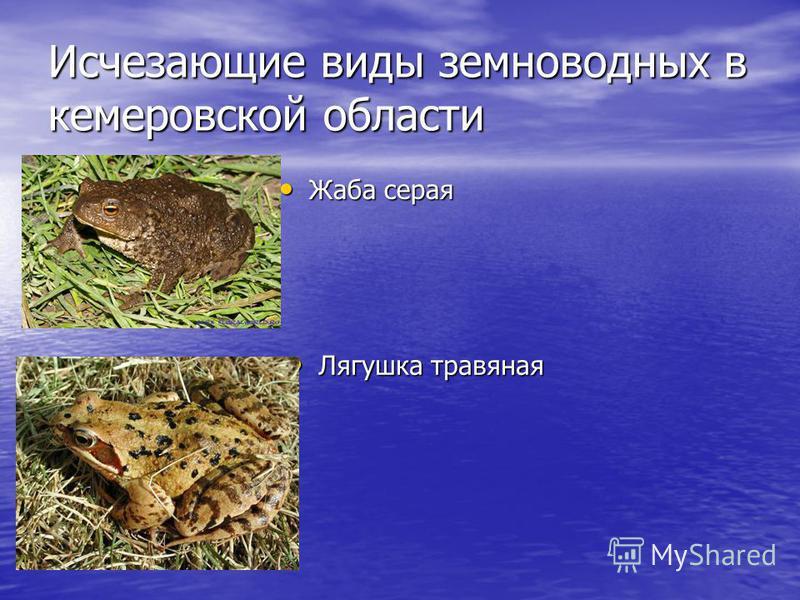 Исчезающие виды земноводных в кемеровской области Жаба серая Жаба серая Лягушка травяная Лягушка травяная